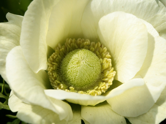 gros plan d'anémone blanche