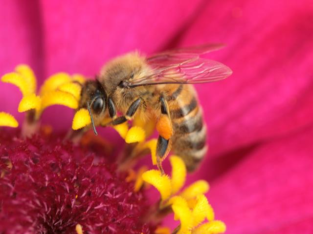 macro d'abeille