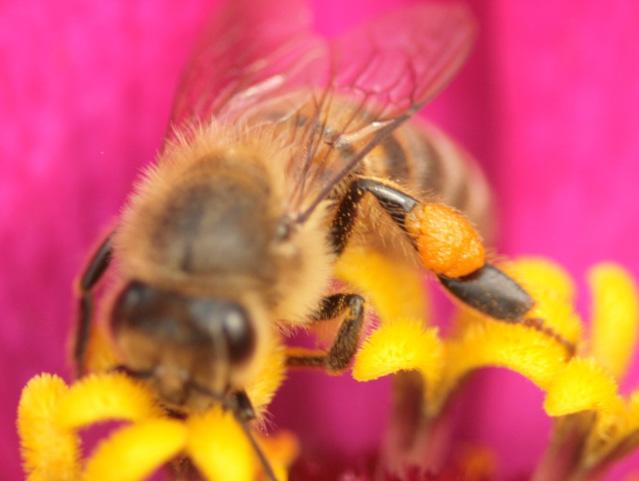 macro sur une pelote de pollen d'abeille