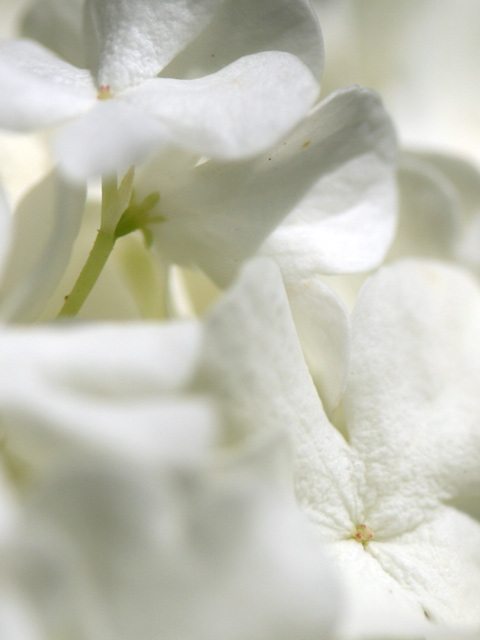 macro d'hortensia