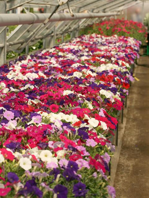 pétunias multicolores